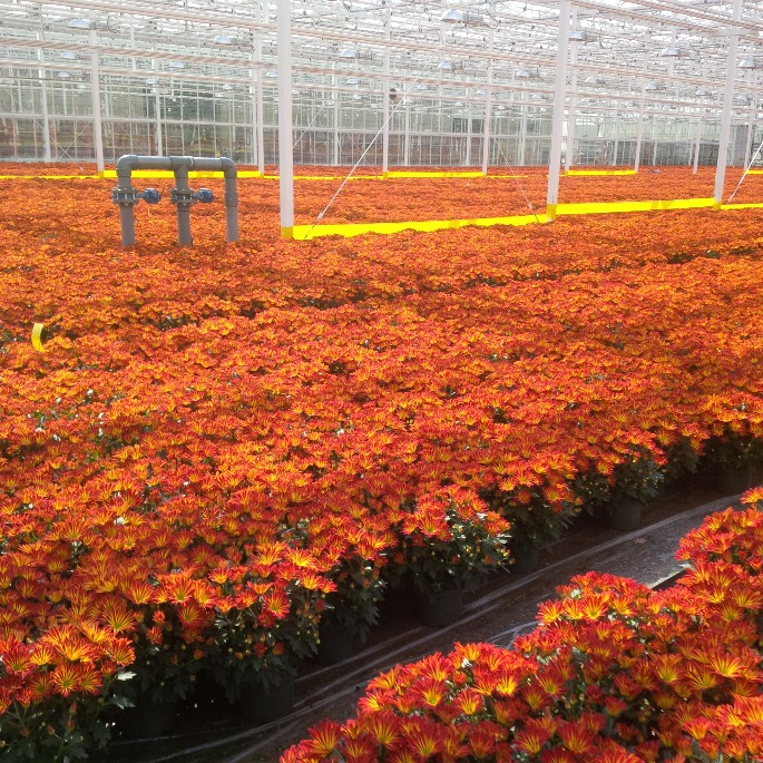 One Floral Greenhouse showing Chrysanthemums